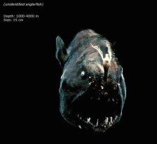 unidentified anglerfish