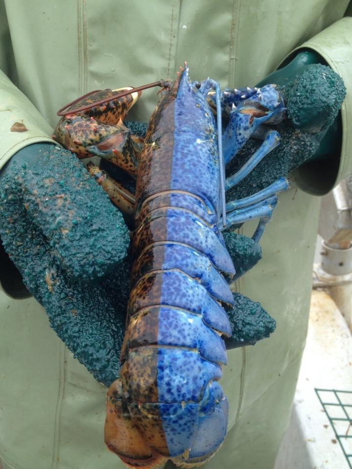 half-blue-half-red-lobster