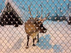 There are reindeer in a pen right in front of the condo.